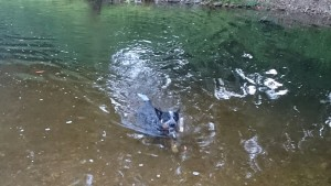 Matilda the dog, swimming